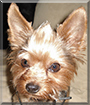 Buddy the Yorkshire Terrier