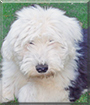 Rasta the Old English Sheepdog