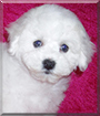 Snowflake the Bichon Frise