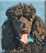 Kobe the Standard Poodle