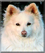 Tilly the American Eskimo Dog