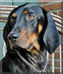 Ike the Black and Tan Coonhound