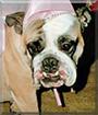 Mavis the English Bulldog