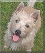 Max the Cairn Terrier