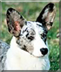 Roxy the Cardigan Welsh Corgi