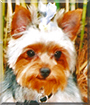 Pooka (Bailey) the Yorkshire Terrier