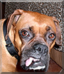 Tilly the Boxer
