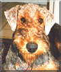 Willie B. the Airedale