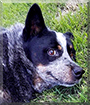 Lakota Blue the Australian Cattle Dog