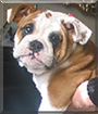 Bronco the English Bulldog
