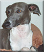 Binx the Italian Greyhound