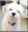 Tigger the Maltese mix