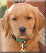 Gus the Golden Retriever