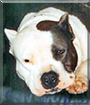 Nautica the American Pit Bull Terrier
