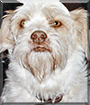 Falkor the Lhasa Apso, Terrier mix