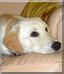 Honey the Yellow Labrador mix