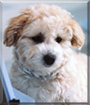 Teddy Bear the Bichon Frise/Shih Tzu