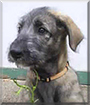 Saige the Irish Wolfhound