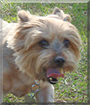 Little Foot the Silky Terrier