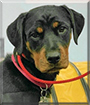 Roxie the Rottweiler