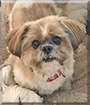 Peanut the Shih Tzu