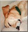 Lily the Labrador Retriever