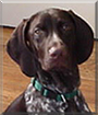 Hunter the German Shorthaired Pointer