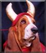 Murphy the Basset Hound