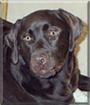 Kahlua the Labrador Retriever