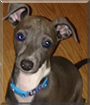 Winter the Italian Greyhound