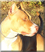 Trinity the American Pit Bull Terrier