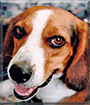 Murphy the Beagle
