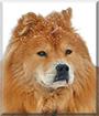 Foxy Bear the Chow Chow