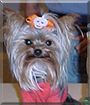 Peanut the Yorkshire Terrier