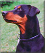 Nero the German Pinscher