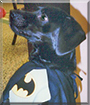 Batman the Labrador Retriever, Dachshund mix