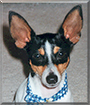 Pete the Toy Fox Terrier