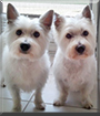 Scooby and Daisy the West Highland Terriers