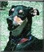 Chaka the Greyhound mix