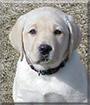 Gansett the Labrador Retriever