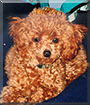Chaos the Toy Poodle