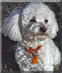 Squirt the Bichon Frise, Cocker Spaniel, Poodle mix