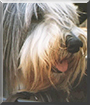 Tequila the Bearded Collie