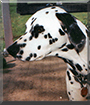 Twitchy the Dalmatian