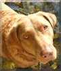 Pearl the Chesapeake Bay Retriever