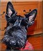 Angus the Scottish Terrier