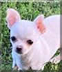 Tiffany the Chihuahua