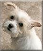 Duke the Maltese, Chihuahua mix