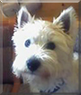 Bonny the West Highland Terrier