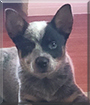 Luna the Australian Cattledog